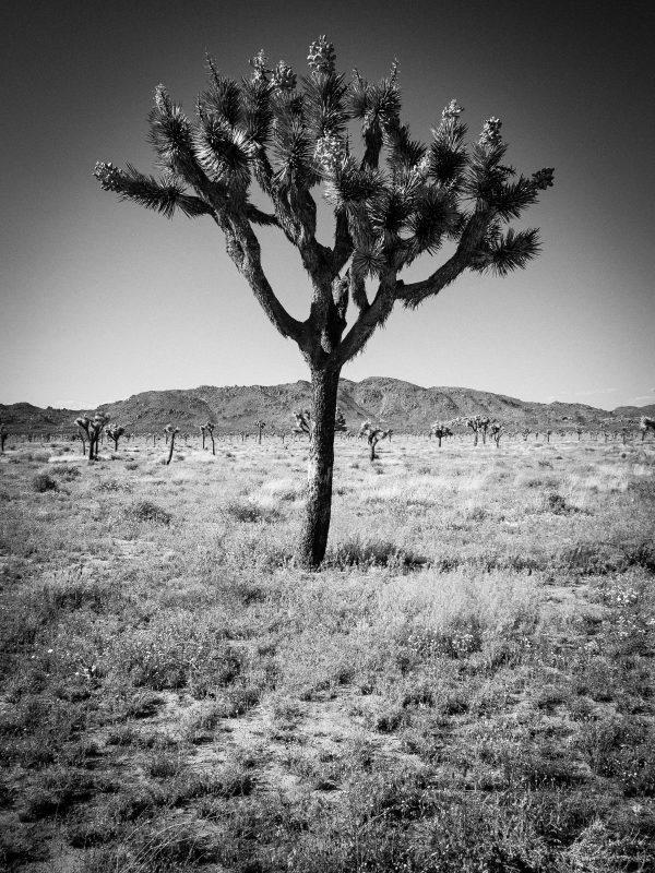Joshua Tree, California
